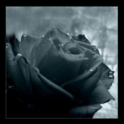 Black Rose Clic Here To Preview This Gothic Wallpaper